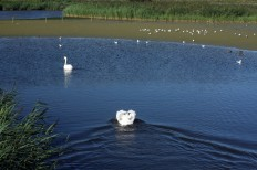Weymouth & Portland this morning.. A male swan sees off a male rival who strayed into his manor at Radipole Lake RSPB Nature Reserve in Weymouth. https://idrismartin.wordpress.com/