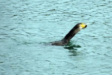 West Bay Dorset. The locals call it the Terminator. This cormorant always gets it's prey despite the eel putting up a desperate fight to survive. https://idrismartin.wordpress.com/