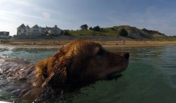 Cooling Off in the water at Preston Beach Weymouth. Honey the Golden Retriever grasps hold of the Tennia Ball. https://idrismartin.wordpress.com/